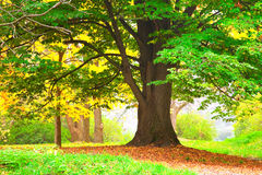 Autumn tree in park Royalty Free Stock Images