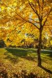 Autumn tree at park Royalty Free Stock Image