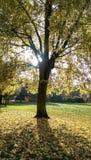 Autumn tree Stock Image