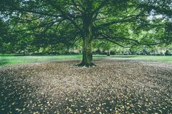 Autumn tree in a park Stock Photography
