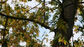 Autumn tree in park closeup. Autumn city park tree closeup stock video footage