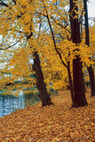 An autumn tree in the park. An autumn tree with yellow leaves near the river in the park. Location Berlin Royalty Free Stock Photography