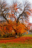 Autumn tree. Photo of the autumn tree. The fallen leaves lying on the grass Stock Photography