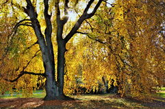 Autumn tree. Royalty Free Stock Images