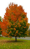 Autumn Tree in Pittsford, NY Stock Afbeeldingen