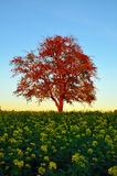 Autumn tree in rapeseed field Royalty Free Stock Photography