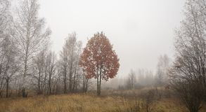 Autumn tree with red foliage in fog stock photo