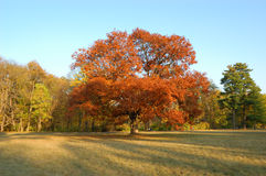The autumn tree with red leafs in park Stock Images