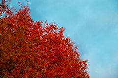 Autumn tree with red leaves against the blue sky. Royalty Free Stock Images