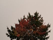Autumn tree with red leaves on a background of cloudy sky royalty free stock image
