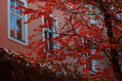 Autumn tree with red leaves Royalty Free Stock Photos