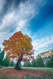 Autumn tree with red and orange leafs stock image