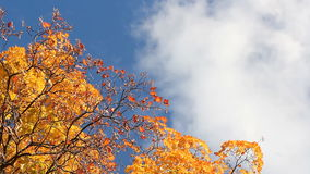 Autumn tree with red and orange leaves on the background of bright blue sky and clouds. Autumn landscape. Autumn tree with red and orange leaves on the stock video