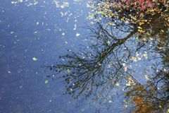 Autumn tree reflected in the blue water of the lake. Ideal calm and mirror reflection. royalty free stock photos