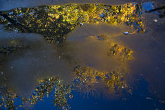 Autumn tree reflected in puddle Royalty Free Stock Photo