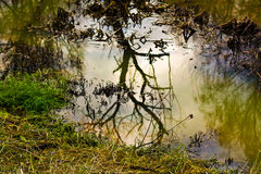 Autumn tree reflection. In water among fade grass Stock Image