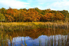 Autumn tree reflection. Autumn trees reflected in small pool of water at Hickling Broad, Norfolk Stock Photos