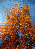 Autumn tree reflection on water Stock Images