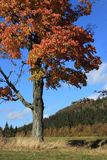 Autumn tree and rocks in background. Aspen tree in autumn colours in front of rocks Szczeliniec Wielki Stock Images