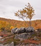 Lonely birch and three eyecatching rocks in golden autumn Lapland. Nice red and yellow backround Stock Photography