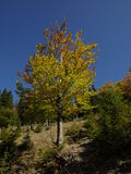 Autumn tree. Romanian Carpathians autumn is coming bringing with it many colors Stock Images