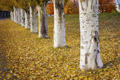 Autumn Tree Row Royalty Free Stock Photos