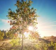 Autumn tree Royalty Free Stock Image