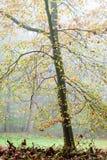 Autumn Tree. Autumn scenery of beech tree in a foggy day Stock Photos