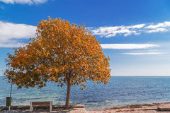 Autumn tree by the sea side Royalty Free Stock Photography