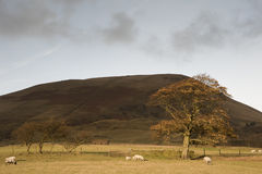 Autumn tree and sheep in foothills of Kinder Scout  Royalty Free Stock Photo