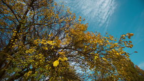 Autumn Tree And Sky. Autumn tree and blue sky stock video footage