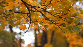 Autumn tree in a sunny forest. Autumn landscape. stock footage