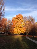 Autumn Tree in Sunset Highlights. Tree with autumn colors lit up by the setting sun stock photography