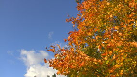 Autumn tree. Swaying in the wind stock footage