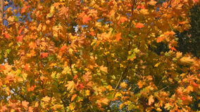 Autumn tree. Swaying in the wind stock video footage