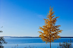Autumn tree in Sweden Royalty Free Stock Images