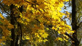 Yellow leaves in the wind. The autumn tree swings in the wind, the yellow leaves rustle stock video footage