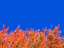 Autumn tree tops. Fire-red maple leaves against a deep blue cloudless sky. Plenty of room for copy stock images