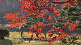 Autumn tree. S at the Ueno park in Tokyo, Japan stock footage