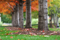 Autumn tree trunks with colorful leaves Stock Photography