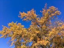 Autumn tree under blue sky. Autumn yellow orange leaves under blue skies Stock Photo