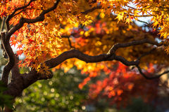 Autumn tree, very shallow focus Royalty Free Stock Image