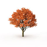 Autumn tree on white Royalty Free Stock Photo