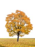 Autumn tree in a white background Stock Images