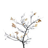 Autumn tree on a white background Stock Images