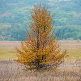 Autumn tree wild pear Stock Images