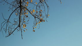 Autumn tree wind and sky, yellow leaves. Autumn Wind. Fall Wind. Autumn Colors stock video