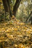 Autumn Tree y hojas Imagen de archivo libre de regalías