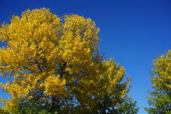 Autumn tree. Autumn yellow tree against blue sky Royalty Free Stock Photo