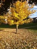 Autumn tree. Yellow fall tree Royalty Free Stock Photos